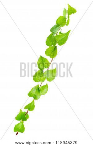 Beautiful Green Twig Of Straight Ivy Is Isolated On White Background, Closeup