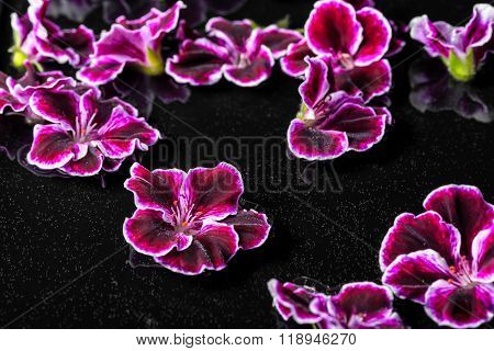 Beautiful Composition Of Dark Purple Geranium Flower With Dew In Water, Royal Pelargonium, Closeup
