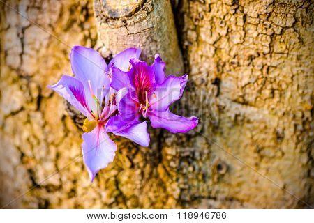 Beautiful Blooming Purple Bauhinia Purpurea Or Orchid Tree On Wood,  Closeup