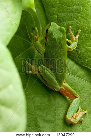 Tree Frog Hide In Foliage