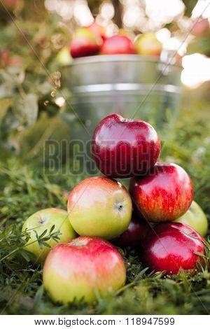 bucket full of ripe apples in sunset