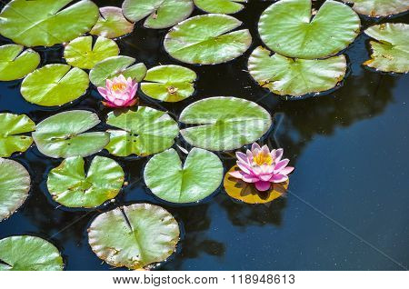 Flowers And Leaves Of Water Lilies On A Pond