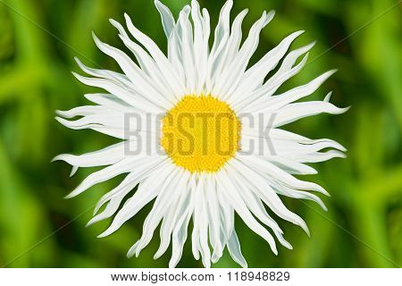 close up to beautiful white flower. yellow middle