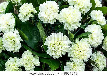 Bright Colorful Background With Pale Green Carnations