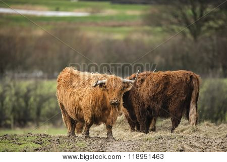 Beautiful Scottish Highland Cattle Grazing In Farm Field
