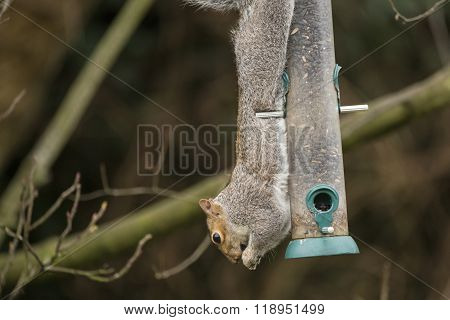 Grey Squirrel Hanging Upside Down Whilst Eating From Bird Feeder In Garden