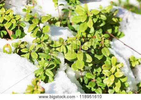 Lingonberry In Snow