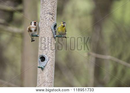Goldfinch And Siskin Birds On Feeder In Garden