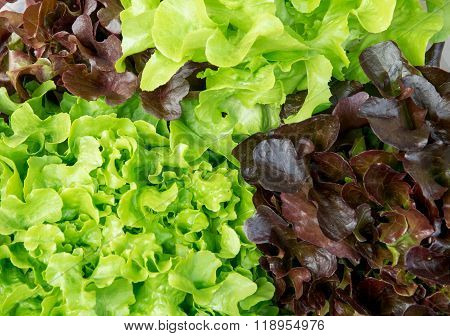 Close Up Of Hydroponic Vegetable