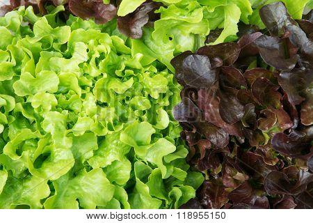 Hydroponic Vegetable, Organic Farm