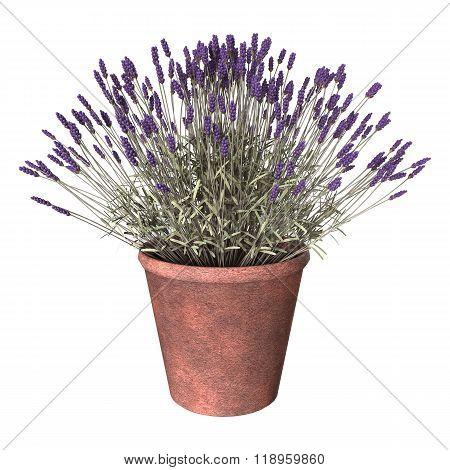 Lavender Pot On White
