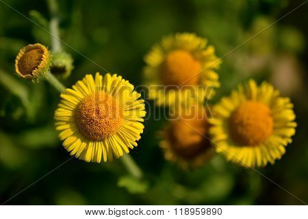 Common fleabane (Pulicaria dysenterica) close up of flowers