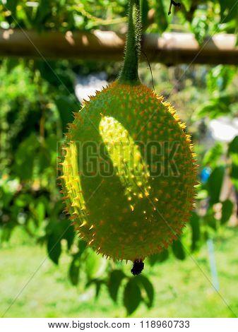 Fruit  , Momordica Cochinchinensis ,.