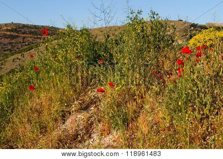 Red Poppy Flowers In Summer