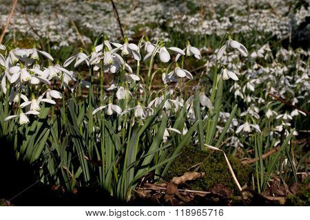 Carpet of Common snowdrops (Galanthus nivalis)  on the edge of the wood