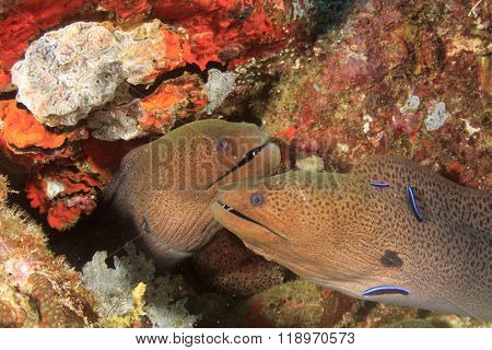 Giant Moray Eels and cleaner fish