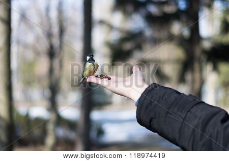 Feeding The Titmouse With Hazelnuts From Palm.