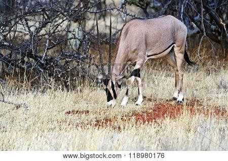 Oryx Gazella In Africa
