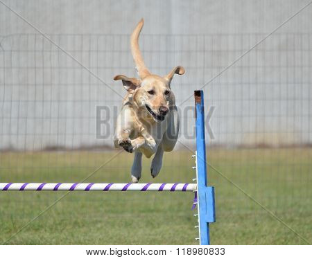 Yellow Labrador Retriever At Dog Agility Trial