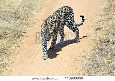 Leopard In The Savannah