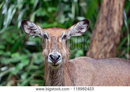 African Gazelle Water Goat