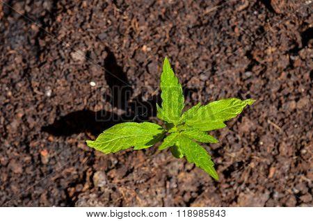 Cannabis Leaf Background