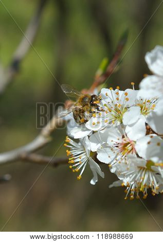 Blossoming branch with flower of cherry tree and a honey bee ** Note: Shallow depth of field