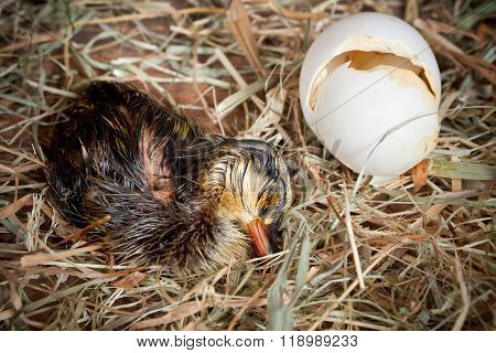 Sleeping hatched duckling lying tired beside its egg