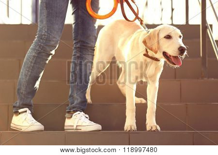 Labrador dog walking with human on the stairs