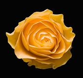 stock photo of yellow rose  - one yellow rose on a black background - JPG
