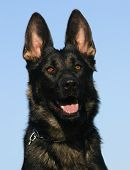 foto of german shepherd  - head of female purebred german shepherd - JPG