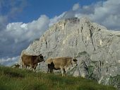 Mountains Cow
