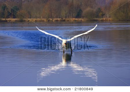 Arrival Of A Large Male Swan