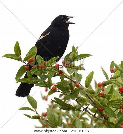 Red-winged Blackbird, White Background