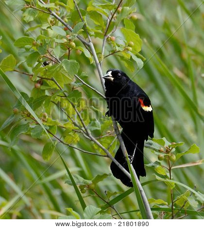 Red-winged Blackbird, Plants In Background