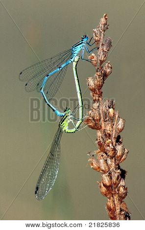 Damselfly Copulation