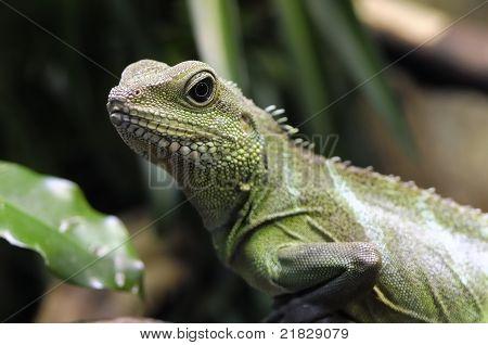 Physignathus Cocincinus