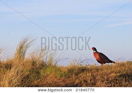 Ave macho de faisão de pé sobre uma colina