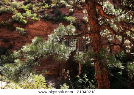 Crooked Pine Tree in Southwest Desert Canyon