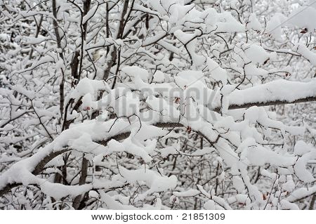 Background of snow-laden twigs and branches.