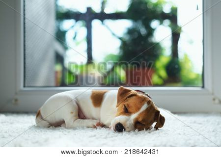 Jack russel puppy on white