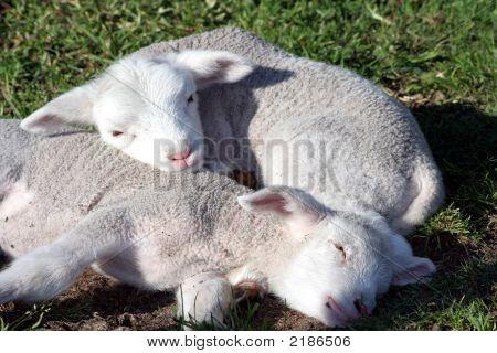 Lambs Sleeping