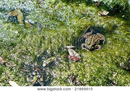 The Frog Lies In A Bog.