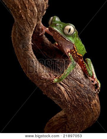 frog with big eyes on branch in Brazil amazon rain forest tree frog Phyllomedusa vailanti at night in tropical jungle crawling up nocturnal treefrog beautiful animal macro copy space black background