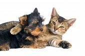 stock photo of puppy kitten  - The puppy and kitten in studio on a neutral background - JPG