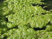 foto of scum  - Moss and pond scum on top of pond water - JPG