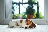Jack russel puppy on white carpet. Small dog sleep in the house poster