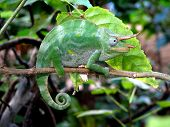 picture of camoflage  - animal blend blending camoflage chameleon changing deceptive disguise green hidden hide indicernable lizard slow squamate zygodactyl - JPG