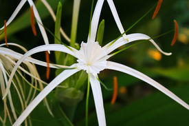 stock photo of sand lilies  - white crinum lily five - JPG