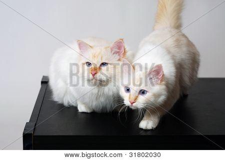 Two Birman cats